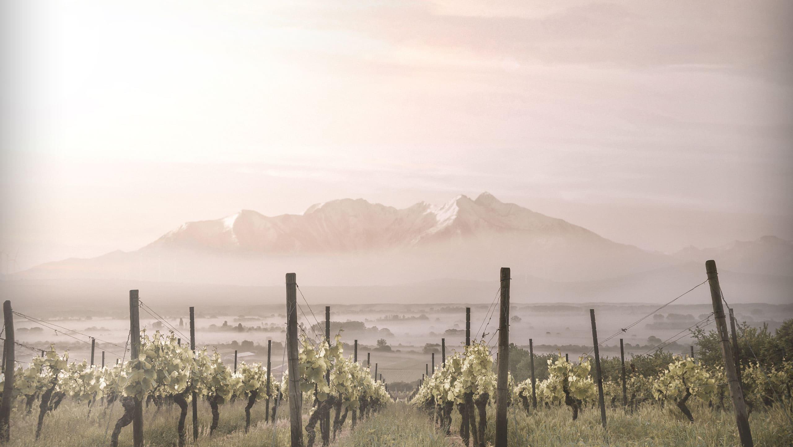 Vignes au pied du Canigou - Vins Guillaume GANGLOFF - Languedoc-Roussillon